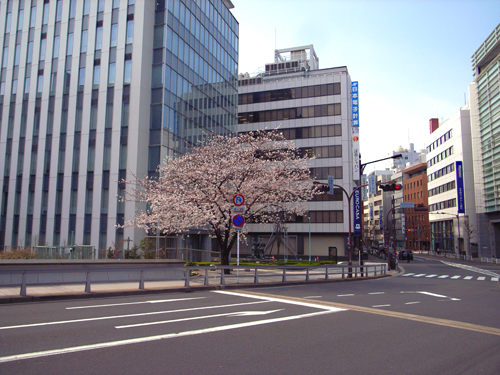 kabutosakura